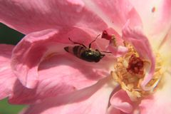 Photo represents a insect or fly sits on pink rose, macro photography stock photos