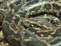 Photo of reticulated python head closeup royalty free stock image