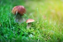 Photo of ripe white mushrooms Stock Photo