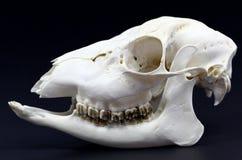 Photo of roe deer skull Royalty Free Stock Image