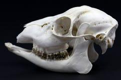 Photo of roe deer skull Stock Images