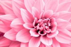 Photo rose-clair de macro de fleur de dahlia Photo en couleurs soulignant les couleurs rose-clair et les ombres rougeâtres Photo stock