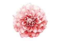 Photo rose-clair et blanche de macro de fleur de dahlia Décrivez la couleur modifiée la tonalité en soulignant la texture et le m Photographie stock
