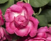 Rosebud pink ajar closeup photo. Photo of Rosebud pink ajar closeup photo Stock Photo