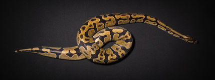 Photo of royal python`s loop. On black background Stock Images