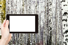 Photo of russian snowy birch woods in winter Stock Image