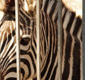 The photo of sad look of zebra in the cage. Which can be good illustration of wild nature stock photo