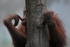 Sad orang utan losing home royalty free stock photos