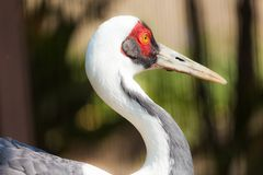 photo of a sandhill crane Stock Photos
