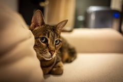 Photo of a Savannah cat royalty free stock images