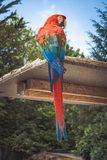 Photo of Scarlet Macaw Perching on Brown Wooden Board
