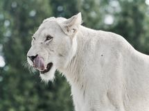 photo of a scary white lion screaming Royalty Free Stock Photos