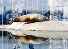 Photo sea lion Stock Photography