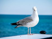 Photo of Sea Seagull Sitting, Shot from Brighton pier, England. Photo of Sea Seagull Sitting On Top, Shot from Brighton pier, England Stock Images