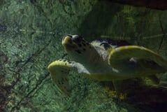 Photo of sea turtle Royalty Free Stock Photos