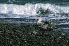 Photo Seagull on a pebble beach Royalty Free Stock Photos