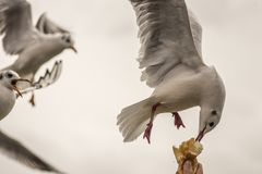 Seagulls - feeding time royalty free stock image