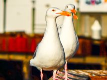 Three Seagulls in a line. This photo of a seagulls was taken the San Francisco Port stock photos