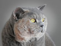 Senior pedigree british shorthair cat portrait. Photo of a senior pedigree british shorthair cat side profile portrait with bright yellow eyes taken april 3rd royalty free stock photo