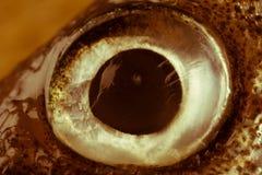 Photo sepian de plan rapproché d'oeil de poissons d'éperlan Photo libre de droits