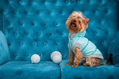 Photo session couch tiffany blue turquoise color dog pet new year christmas red terrier sofa toy Stock Photo
