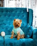 Photo session couch tiffany blue turquoise color dog pet new year christmas red terrier sofa toy Stock Photos