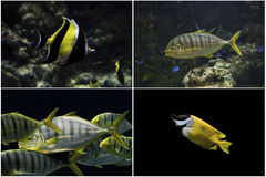 Photo set: Marine tropical fish Royalty Free Stock Photos
