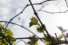 Leaves of grapes, spring Stock Images