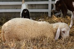 Sheep lay down on the straw. A photo of sheep lay down on the straw royalty free stock photo