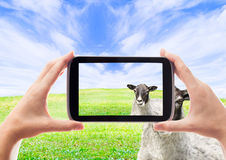 Photo of sheep Stock Image