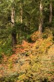 Fall, Big Creek, near Knappa, Oregon Stock Image