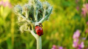 Ants defend aphids from ladybug stock image