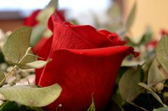 Beautiful red roses. A combination of beauty and subtle naturalness. This photo shows Beautiful red roses. A combination of beauty and subtle naturalness Stock Photography
