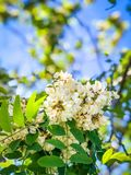 White Bunched Flowers in the Springtime. This photo shows the beauty of tiny baby flowers in full bloom stock images