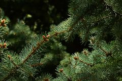 Dark branches of coniferous tree royalty free stock photography
