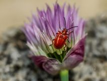 Closeup of red lily beetle on chives flower. Photo shows a closeup of lily leaf beetle sitting on chives flower Stock Image