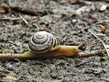 Common striped snail on gray sand and branch royalty free stock image