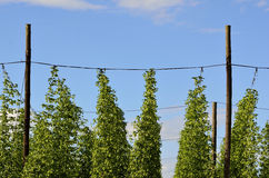 On the plantation of hops Royalty Free Stock Photography