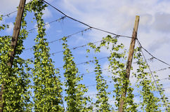 On the plantation of hops Stock Photos