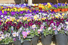 Sea of Pansies Royalty Free Stock Images