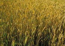 Wheat field. stock images