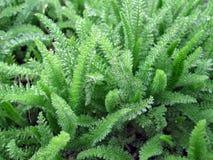Green grass achillea millefolium. This photo shows the green grass achillea millefolium royalty free stock photo