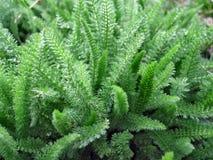Green grass achillea millefolium. This photo shows the green grass achillea millefolium stock photo