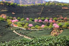 Cherry blossoms in tea garden Royalty Free Stock Photography