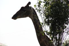 The photo shows the neck and head of a giraffe. Photo 2 royalty free stock photos