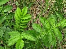 Plant argentina anserina stock images