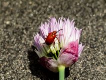 Nice lily leaf beetle on chives flower -Lilioceris lilii. Photo shows red lily leaf beetle on chives flower -Lilioceris lilii Royalty Free Stock Photo