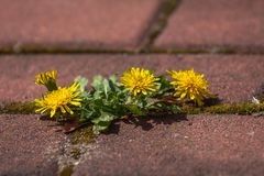 Photo shows some weeds growing on a courtyard dandelion and grass. Photo shows some sprouts growing on a courtyard dandelion and grass Royalty Free Stock Photos