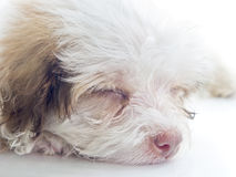This photo shows a tired or sleepy dog. On a white background. Focus on face Royalty Free Stock Photos