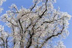 Branches of a tree covered with hoarfrost royalty free stock photos